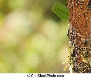 de mieren van de bladsnijder, (atta, sp.)