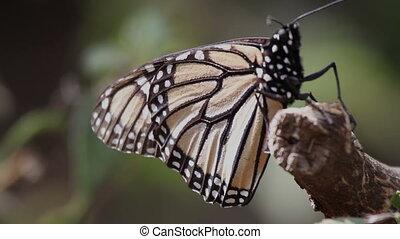 de, verbazend, vorst butterfly, heiligdom, in, mexico, waar,...
