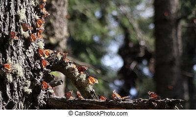 de, verbazend, vorst butterfly, heiligdom, in, mexico, waar, millions, van, vlinder, terugkeren, om te, elke, jaar, van, de, usa, en, canada