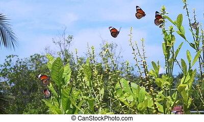de vlinders van de monarch, ongeveer, planten