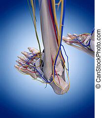 de, voet, anatomie