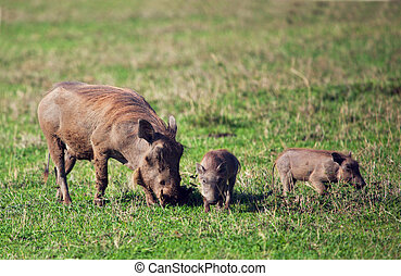 de, warthog, gezin, op, savanne, in, de, ngorongoro krater, tanzania, afrika.
