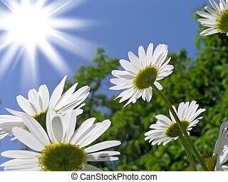 de, zon, en, de, bloemen, zijn, witte , madeliefjes