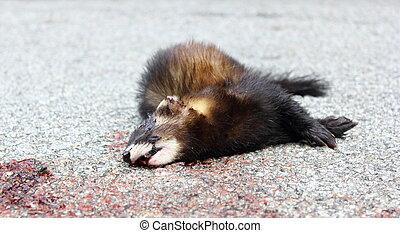 dead animal on the road - ferret (mustela putorius) killed...