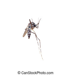 Dead Asian Tiger Mosquito, Aedes albopictus, macro on white background. A transmitter of many viral pathogens, including yellow fever virus, dengue fever, and Chikungunya fever.