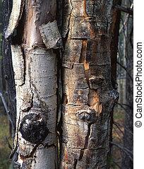 Dead Aspens - Two dead aspen trees.