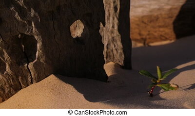 Dead Beach Tree Stump, Qld Island, Australia