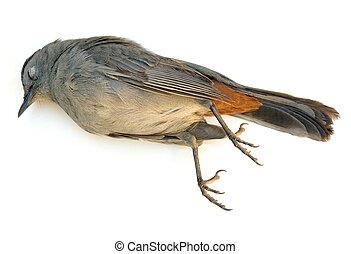 Dead Bird - Dead Gray Catbird (Dumetella carolinensis)...