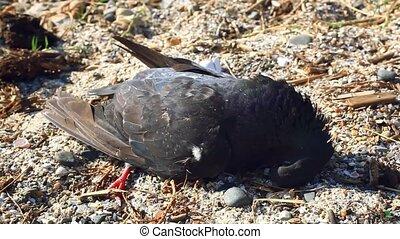 Dead bird on the beach, flies flying around dead bird - dead...