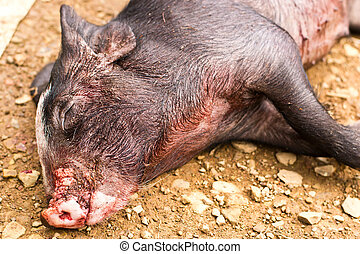 dead boar in the ground