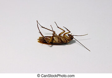 Dead cockroach, lie supine on the white background. it is a beetle like insect with long antennae and legs, feeding by scavenging. Several tropical species have become established worldwide as pests in homes and food service establishments.