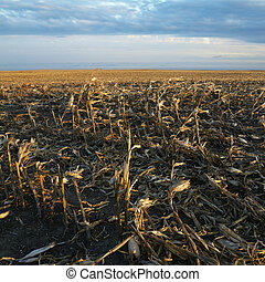 Dead cornfield. - Dead cornfield in rural South Dakota.