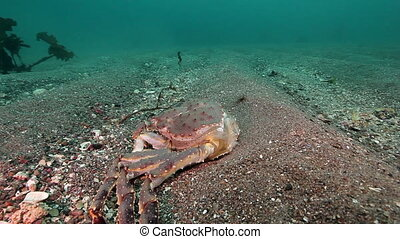 Dead crab on a deserted sandy bottom of Barents Sea. Animal...