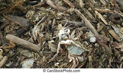Dead crabs, algae, shellfish and rubbish on the beach. 4k,...