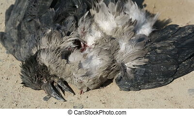 Dead Crow. Wind waves feathers. hit by a car