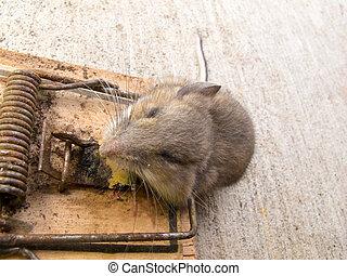 Dead deer mouse, Peromyscus sp, mouse trap killed - Dead...