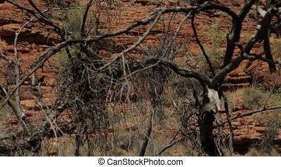 Dead desert trees, King's Canyon, NT - Medium panning...