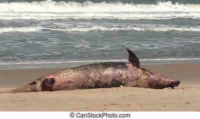 Dead Dolphin washed up on a beach. - The carcass of a dead...