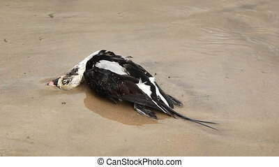 Dead duck. Two shots. - A dead duck on the shore of Wasaga...