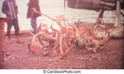 A whole bunch of dead elk, deer, moose heads and antlers from an Arctic circle hunting trip in 1969.