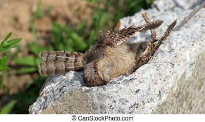 Dead Eurasian wryneck. Light breeze shakes the feathers of a dead bird (Jynx torquilla)