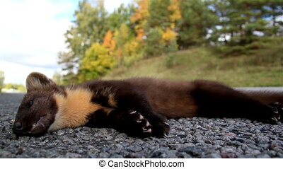 Dead European pine marten Martes animal at the side of the road
