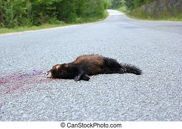 dead ferret on the road