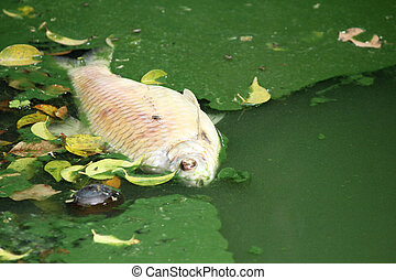 Dead fish in polluted water