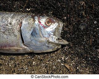 Dead Fish on the Beach 1