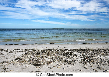 Dead Fish - Red Tide: Beach covered with dead fish killed by...