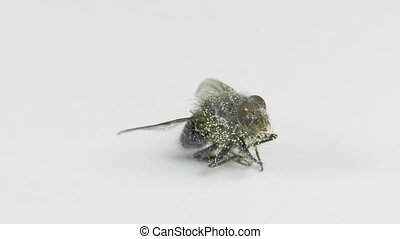 Dead fly with eggs of larva on the rotating table