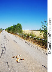 Dead fox killed on the roads at soth of Portugal