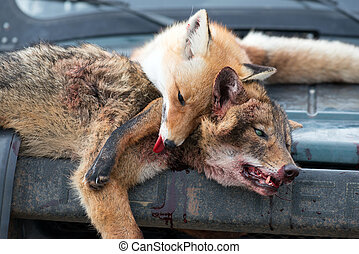 Dead foxes after the hunt in the woods on a car hood