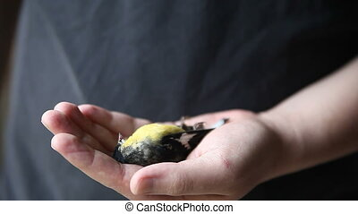 dead goldfinch - a dead male goldfinch in the hand of a...