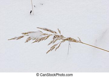 Dead grass under snow