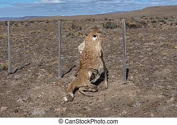 dead guanaco in an fence, Patagonia, Argentina