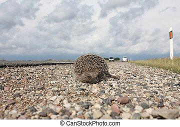 Dead hedgehog on a roadside - Dead hedgehog lying on a ...