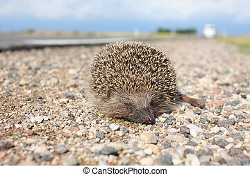 Dead hedgehog on the road - Dead hedgehog lying on a ...