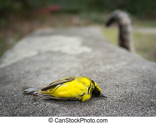 Closeup of a beautiful yellow Hooded Warbler song bird lying dead on a park bench. In the blurred background is the tail of a cat, the hunter.