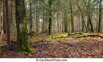Dead hornbeam tree lying moss wrapped