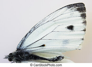 Dead insect white butterfly Pieridae close-up, wing on white...