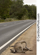 Dead Kangaroo - A common view in Australian road..