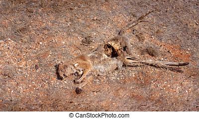 Dead Kangaroo Carcass - Carcass of a dead kangaroo hit by a...