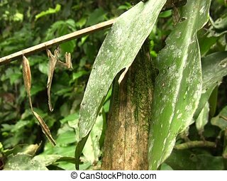 Dead leaf mantis (Acanthops falcatoria) - In the Ecuadorian...
