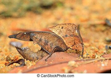Dead Leaf mimicry Grasshopper (Chorotypus sp) in Sinharaja...