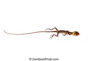 Dead Lizard on white background