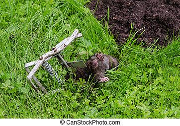 Dead mole animal caught with steel trap lie near mole-hill.