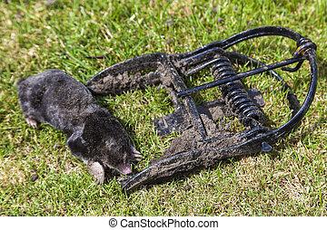 mole having been caught in a metal scissor trap
