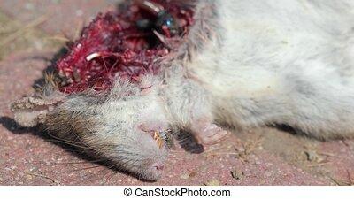 Dead mouse open fleshy wound with flies entering - Dead ...