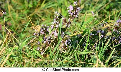 dead nettle and butterfly in the steppe - Wormwood swaying...